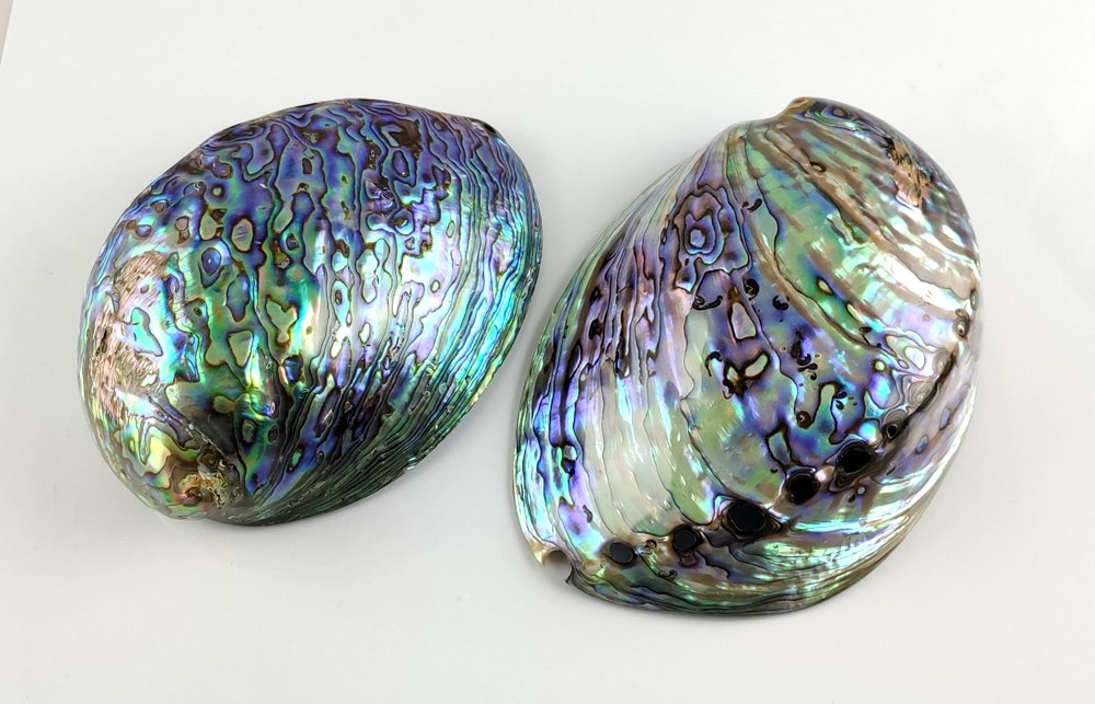 Abalone-Schnecke Paua-Schnecke